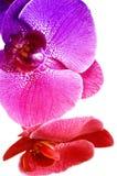 Rainbow orchid Royalty Free Stock Photo