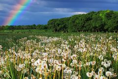 Rainbow Over A Beautiful Field With Dandelions. Summer Rural Landscape Stock Photography