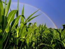 Rainbow over the corn ground royalty free stock photo