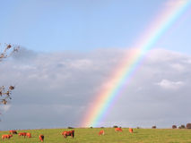 Rainbow over field. Full of cows Stock Photo