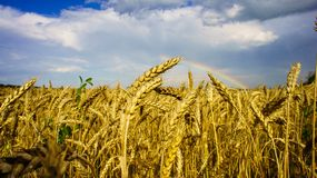 Rainbow over field of golden wheat Royalty Free Stock Image