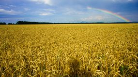 Rainbow over field of golden wheat Royalty Free Stock Photos