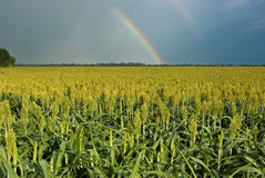 Rainbow Over Field of Milo (Sorghum). Double rainbow over a field of golden milo or sorghum. Sorghum is a gluten-free grain stock photo