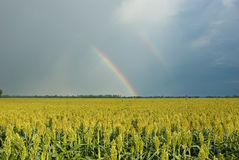 Rainbow Over Field of Milo (Sorghum). Double rainbow over a field of golden milo or sorghum. Sorghum is a gluten-free grain royalty free stock photography