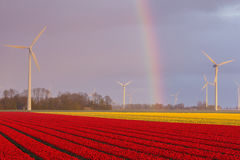 A rainbow over a field with tulips. It is raining over a field with tulips. A Rainbow appears between the wind turbines stock photos