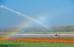 Rainbow over a field with tulips Royalty Free Stock Photography
