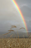 Rainbow Over Grain Field Stock Image