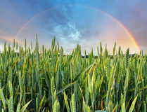 Rainbow over green wheat field Stock Photo