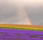 Rainbow over lavender Stock Photography
