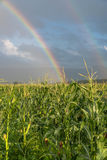 Rainbow over maize field Royalty Free Stock Photo