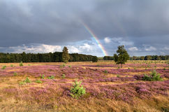 Rainbow over meadow with flowering heather Royalty Free Stock Photography