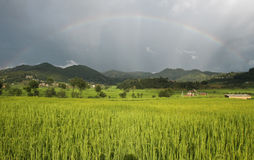 Rainbow over rice field Royalty Free Stock Photo