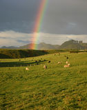 Rainbow Over Sheep Farm. Sheep grazing in field with rainbow in the background Royalty Free Stock Photography