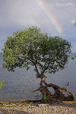 Rainbow over tree by lake. Rainbow forms over Lake Ontario with twisted tree and canada goose in foreground Stock Photography