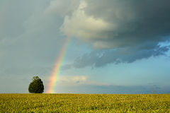 Rainbow over wheat field Stock Images