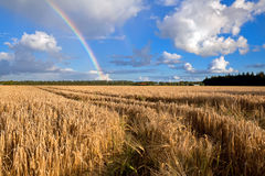 Rainbow over wheat field in summer Royalty Free Stock Photos