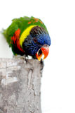 Rainbow parrot Stock Photos