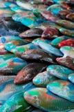Rainbow parrot Fish on stock Stock Photo