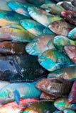 Rainbow parrot Fish on stock Stock Photos