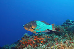 Rainbow Parrotfish Royalty Free Stock Photos