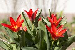 Bright red tulip flowers in a sunny morning. Springtime. royalty free stock images