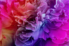 Rainbow peony background. With colored filter Royalty Free Stock Images