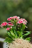 Rainbow Pink. ( Diranthus chinensis) in sunlight Stock Image