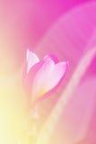 Rainbow Plumeria or frangipani flowe Royalty Free Stock Images