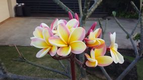 Rainbow plumeria Royalty Free Stock Photography