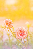 Rainbow portulaca flowers at the garden. Royalty Free Stock Photos