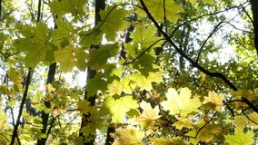 Rainbow rays sun, yellow maple leaf stock video footage