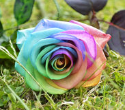 Rainbow Rosa Immagine Stock