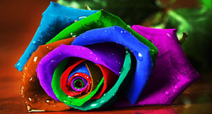 Rainbow Rosa Fotografie Stock