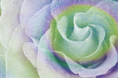 Rainbow Rose 2 Stock Photography