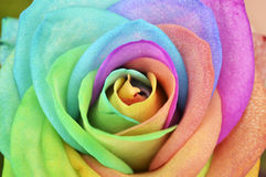 Rainbow Rose Background Stock Photo