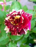 Rainbow rose Royalty Free Stock Photography