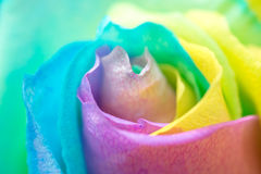 Rainbow Rose. Close up of rainbow rose flower Stock Photography