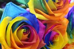 Rainbow rose or happy flower Stock Photos