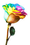 Rainbow rose Stock Image