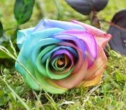 Rainbow Rose Stock Image