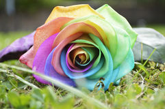 Rainbow Rose Royalty Free Stock Photo