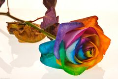 Rainbow rose rainbow Stock Photos