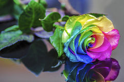 Rainbow Rose Reflection royalty free stock image