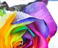 Rainbow rose Stock Photos
