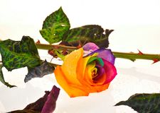 Rainbow rose Stock Photography
