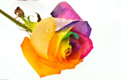 Rainbow rose Royalty Free Stock Photography