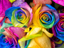 Rainbow roses close-up Stock Images