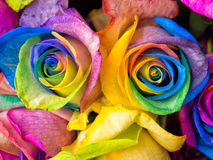 Rainbow roses close-up. Rainbow rose, colourful roses close-up macro shots Royalty Free Stock Photography