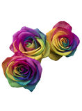 Rainbow roses isolated in white Stock Photo