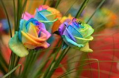 Rainbow Roses. Three rainbow multi colored roses Stock Images
